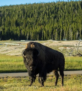 Close encounters with a ninja bison