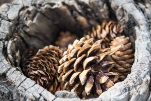 Cones gathered in a hollowed out tree along the Bristlecone Pine Trail