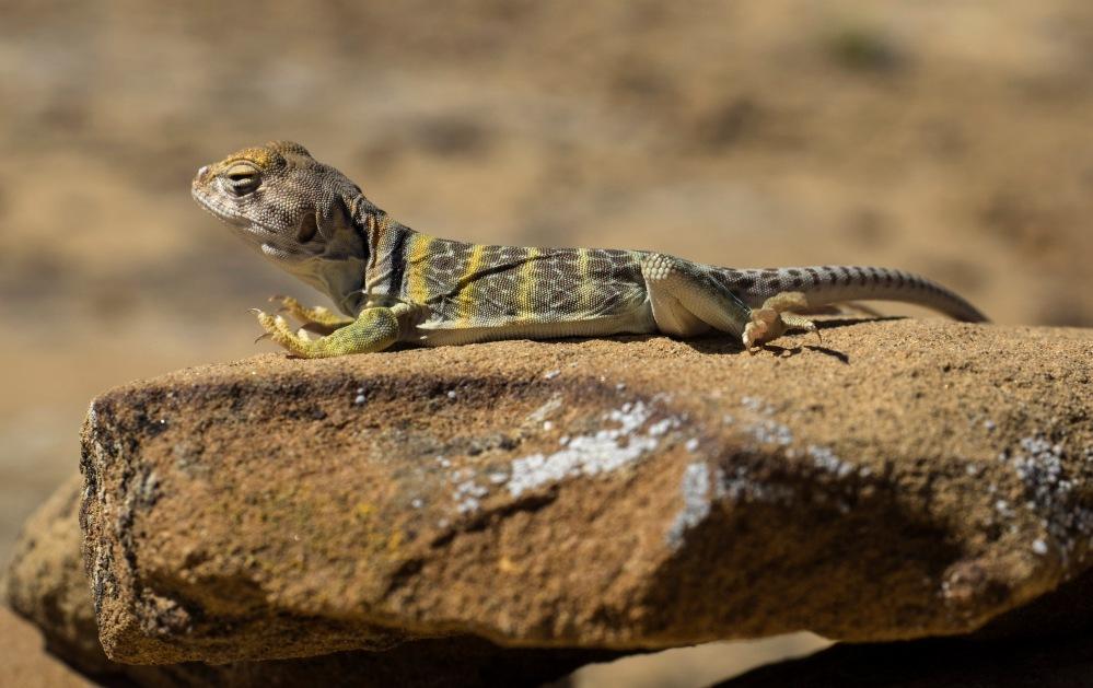 A Collard Lizard sunning itself on a cairn along the Pueblo Alto trail